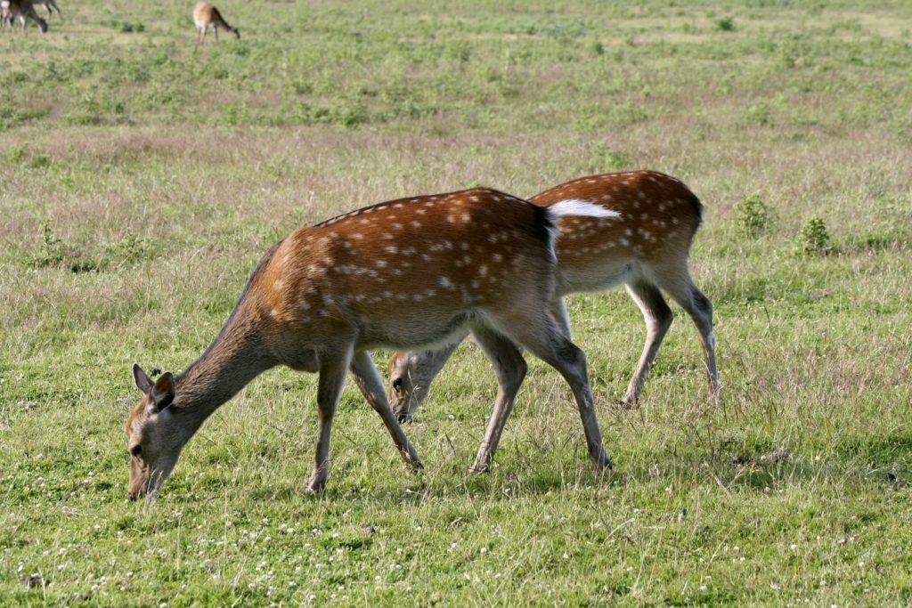 Sika deer hinds. Location: Dorset, England.